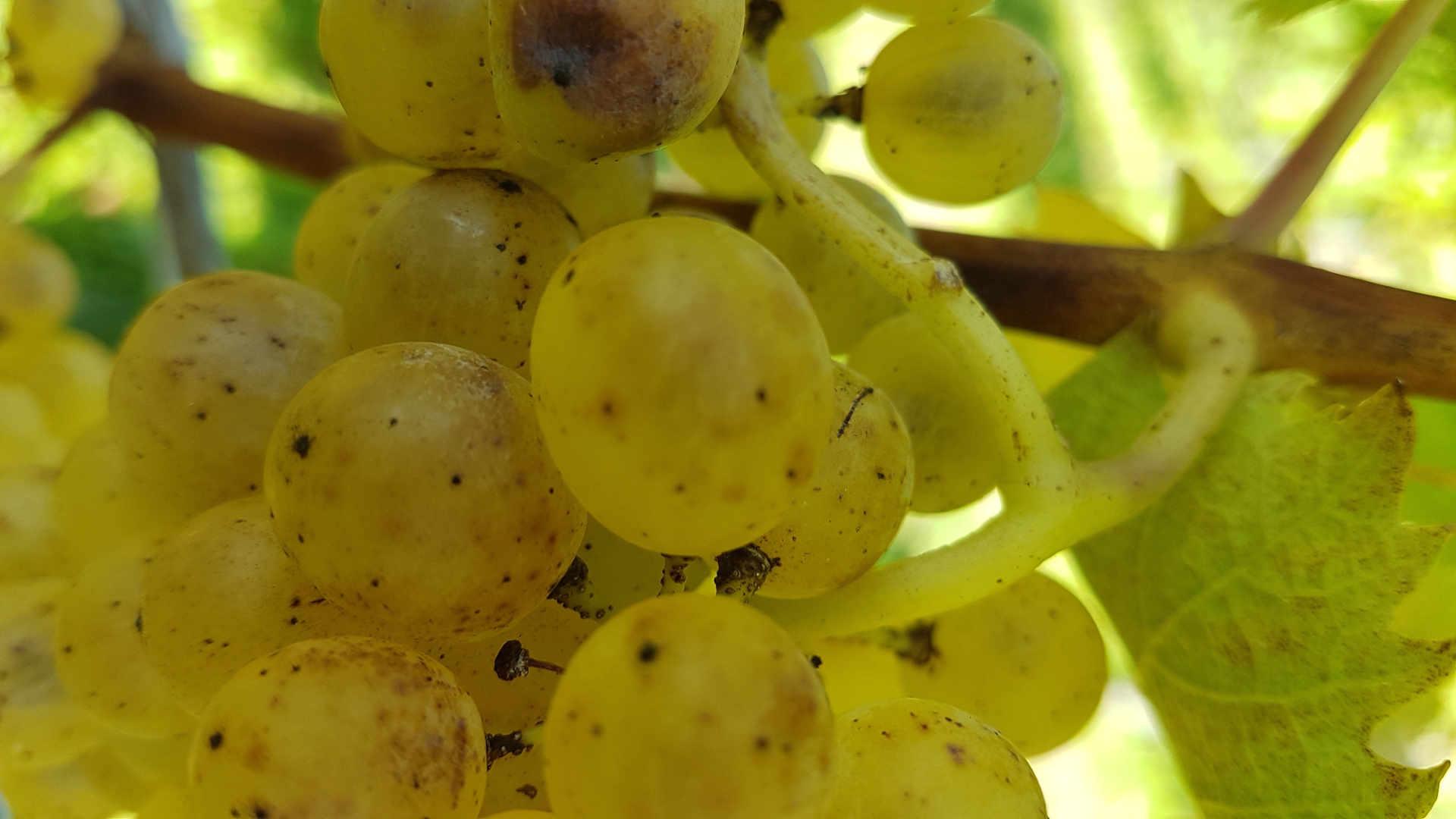 Nahaufnahme Weißweintraube Wein.Gölles