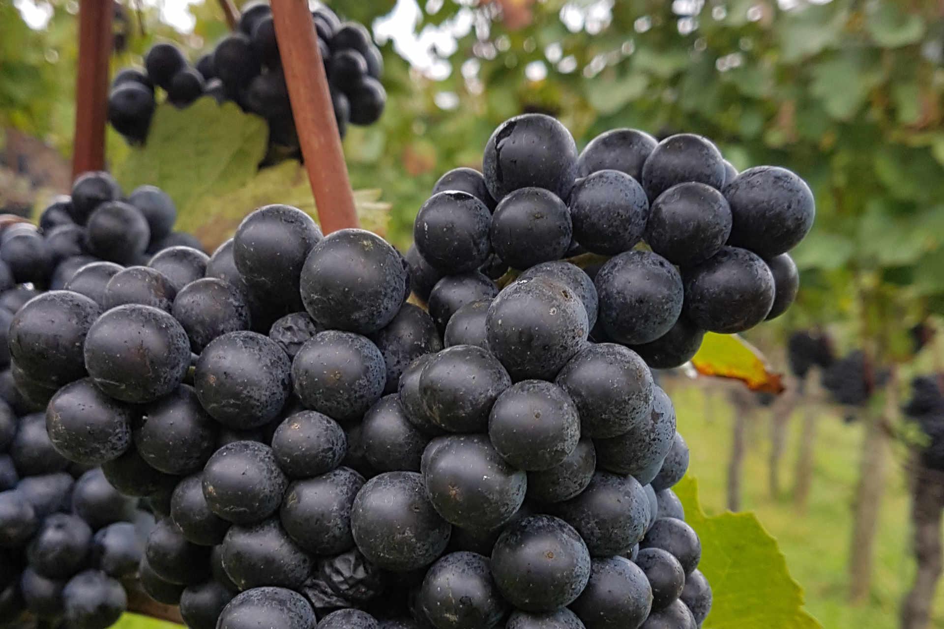 Nahaufnahme Rotweintraube (Blauer Zweigelt) Wein.Gölles